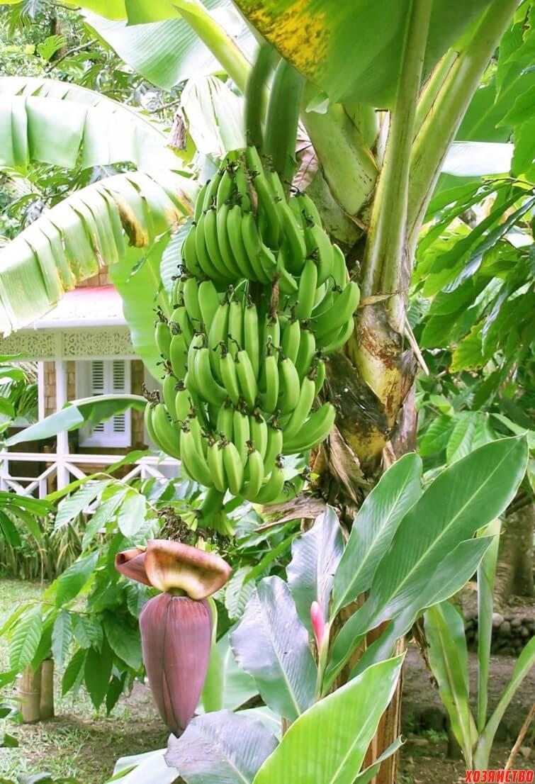 Можно ли бананы при гв?